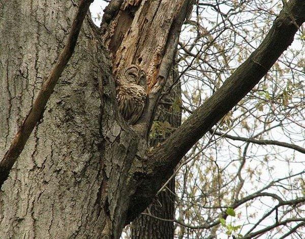 Ağaç kamuflajlı baykuş