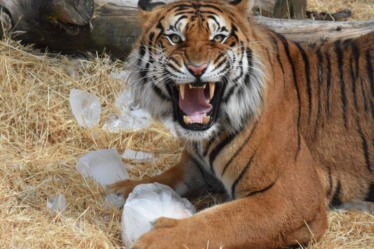 Hayvanat bahçesi sakinlerine buzlu kokteyl