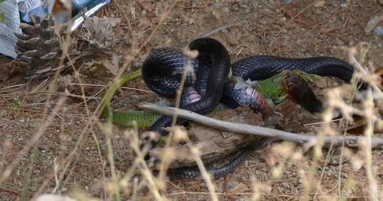 Kara yılan, avını yerken görüntülendi