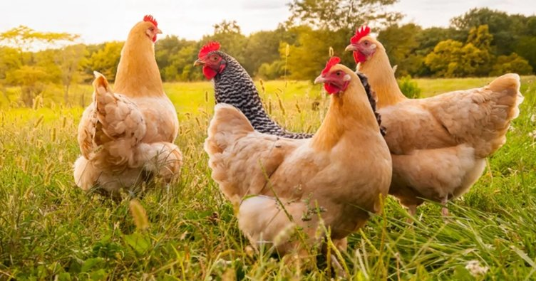Rüyada tavuk görmek nasıl yorumlanır? Rüyada tavuk kesmek neye işarettir, ne anlama gelir?