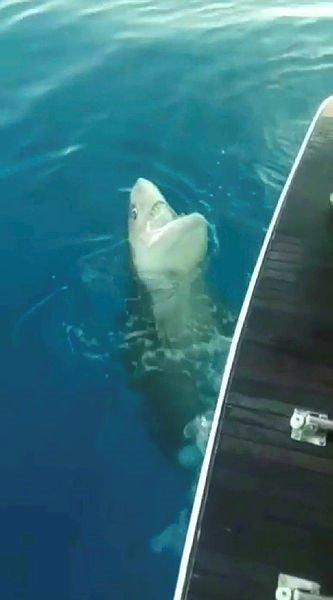 Son dakika haberi: Antalya'da köpek balığı dehşeti! Oltaya takılan köpek balığı herkesi şoke etti!
