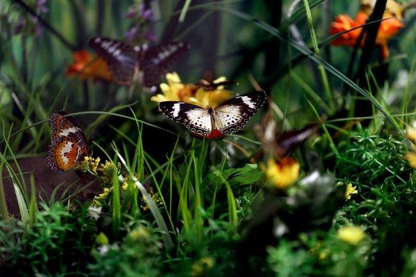 'Aşkın Kanatları' tropikal kelebek bahçesi
