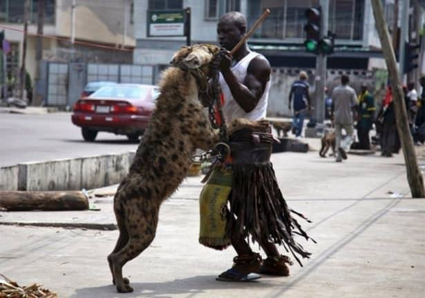 Afrika'nın evcil hayvanları
