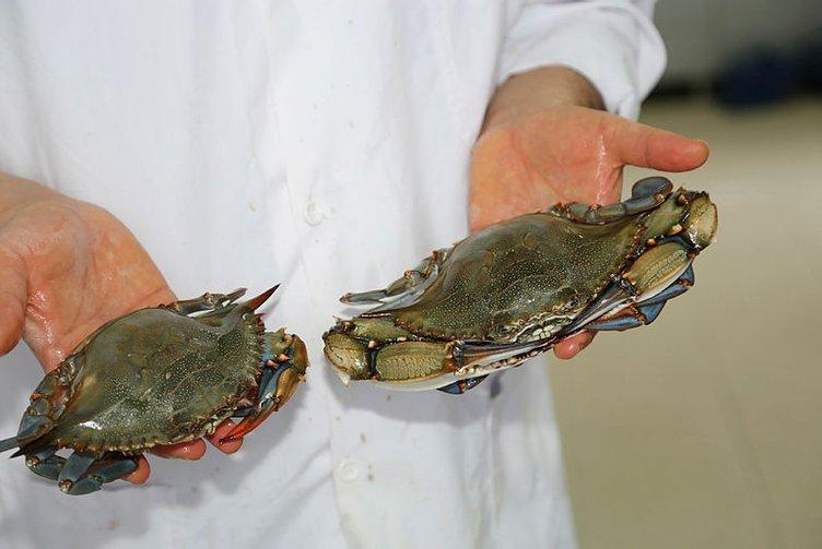 Akdeniz ve Ege'ye özgü balık ve yengeç türleri Karadeniz'i mesken tuttu