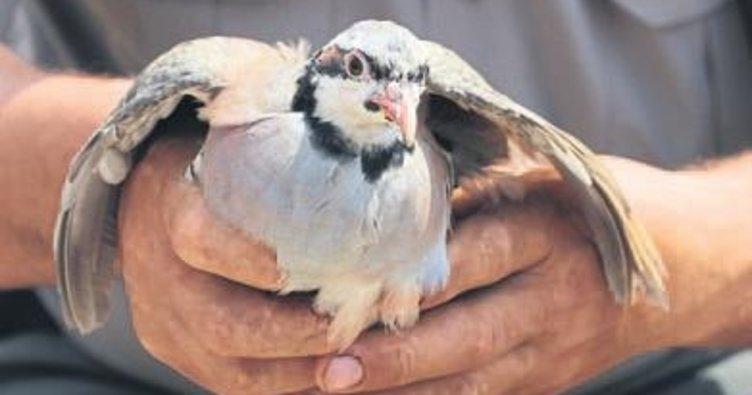 Yavru keklikler doğaya salındı