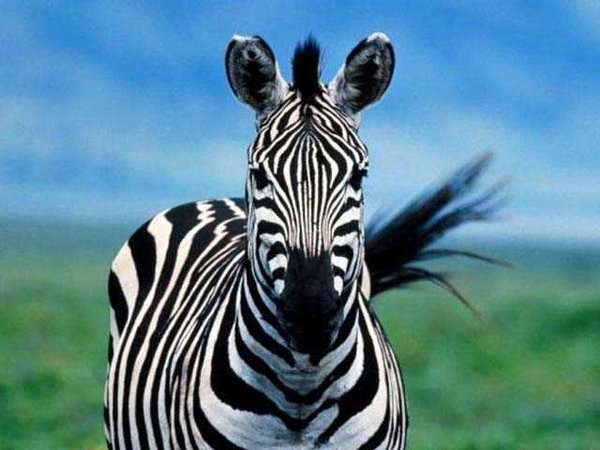 Zebra çizgilerinin sırrı ne?