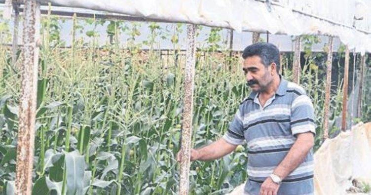 Antalyalı çiftçi mısır ile ezber bozdu