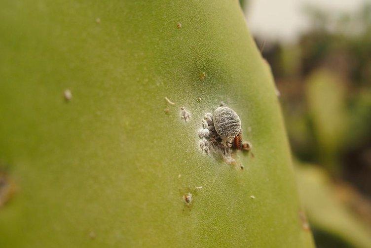 Bugüne kadar binlerce böcek yediğinizin farkında mısınız?
