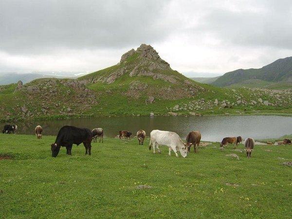 Doğu Karadeniz'de 117 tane var