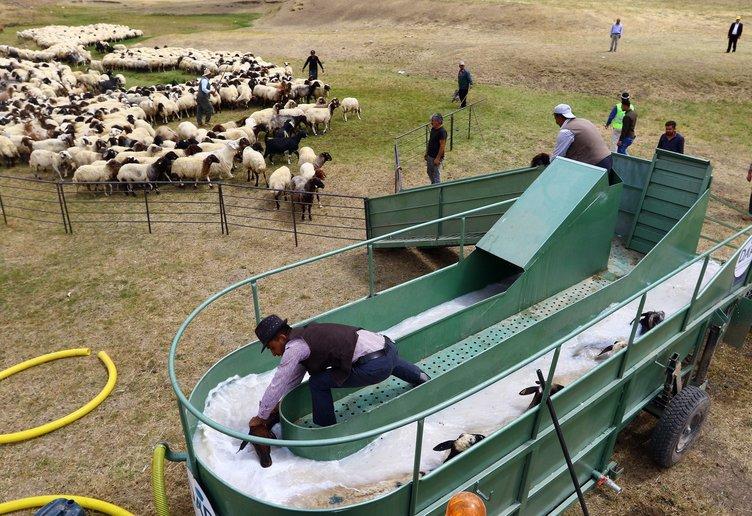Koyunlara özel banyo hizmeti