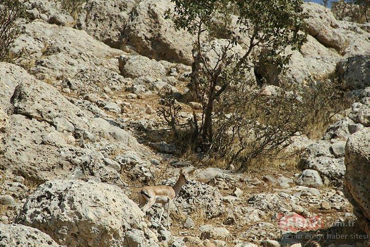 Cudi Dağı'nda artık ceylanlar geziyor