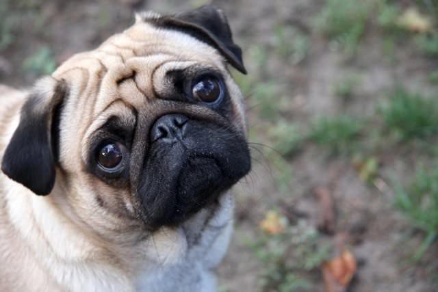 Apartmanda beslenilen köpek cinsleri