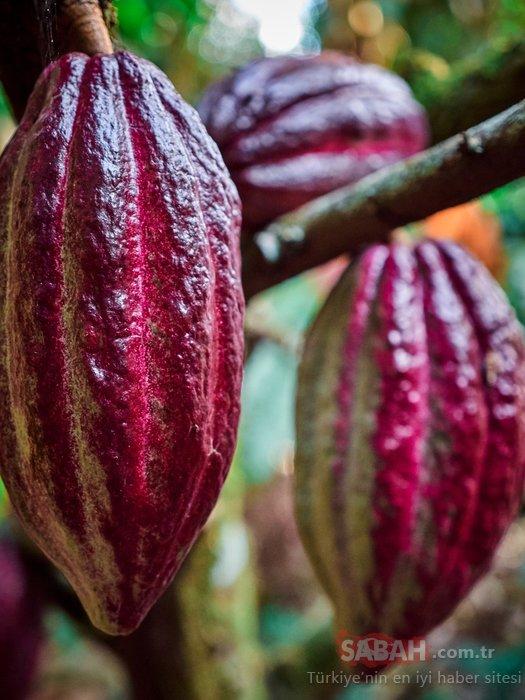 Herkesin sevdiği o besin meğer böyle üretiliyormuş! İşte kakaonun ortaya çıkış aşamaları...
