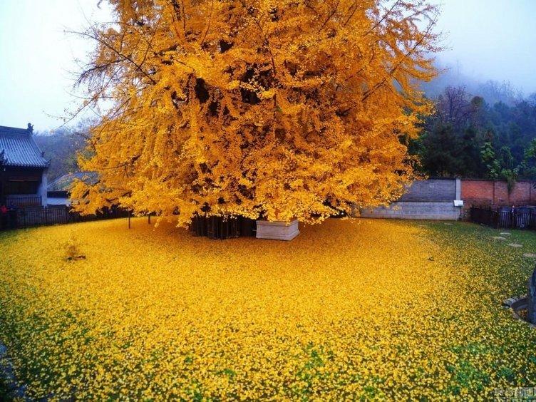 1.400 yıl yaşındaki ağaç!