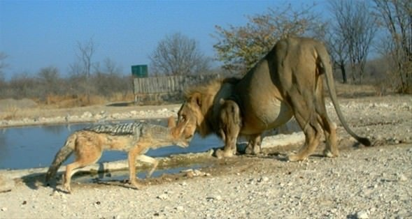 Çakal aslana kafa tutuyor