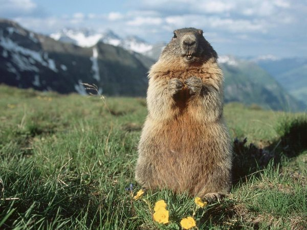 İklim değişikliğinin yeni habercileri: Marmotlar