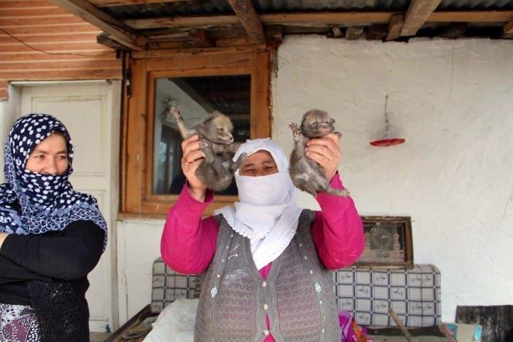 Oltu'da bir eve giren tilki dördüz doğurdu
