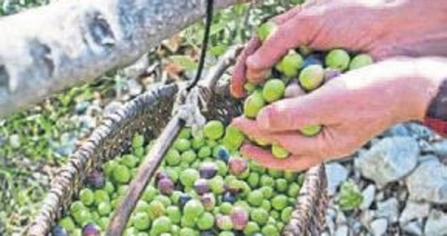 Akhisar'da mutlu hasat