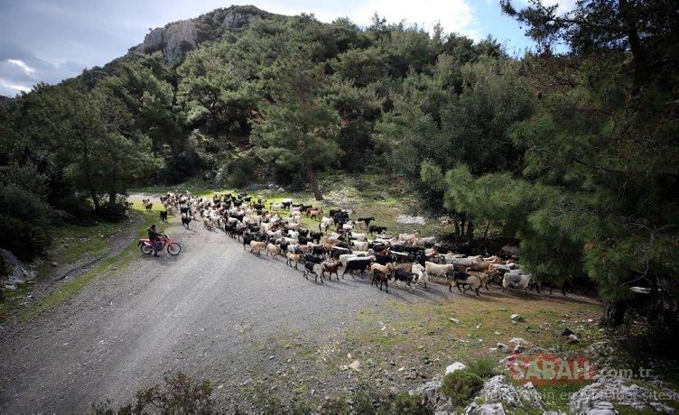 Bodrum'un 'teknolojik çobanı' sürüsünü 'drone' ile takip ediyor