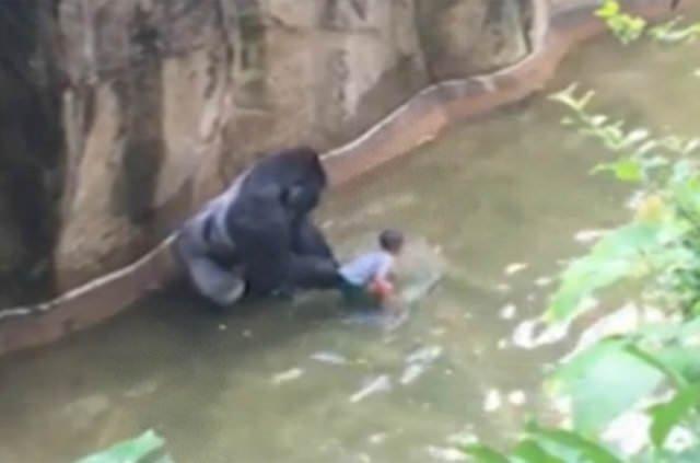 Goril Harambe'nin öldürülmesi yargıya taşınıyor