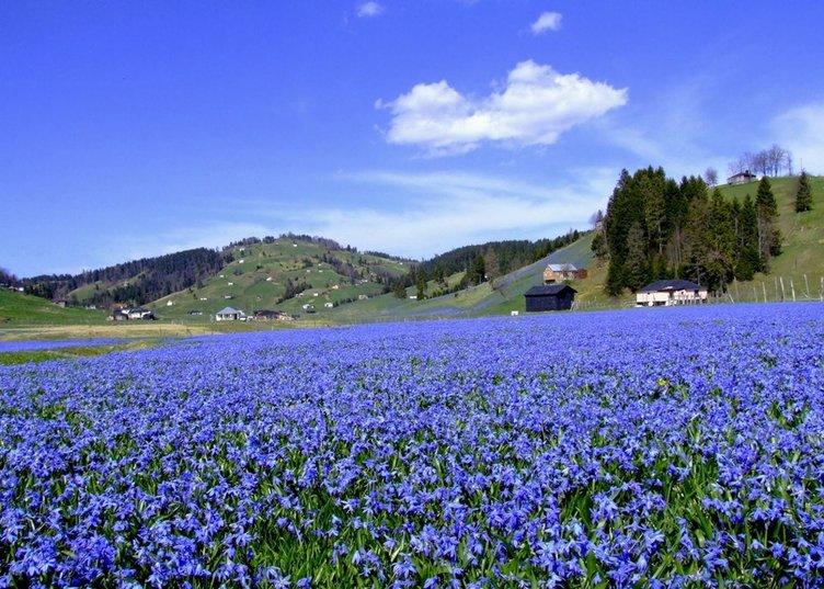 Ziyaretçilerin çiğnediği 'Mavi Yıldız' çiçeği yok oldu