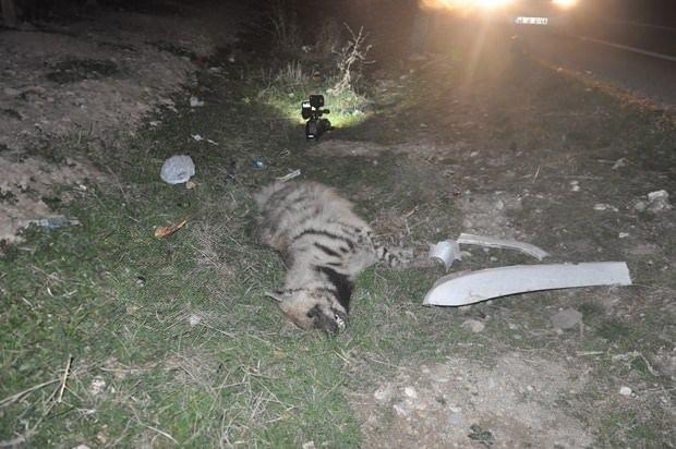 Otomobilin çarptığı çizgili sırtlan öldü