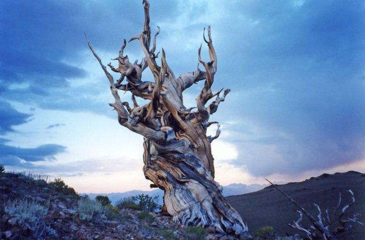 İşte dünyanın en yaşlı ağacı