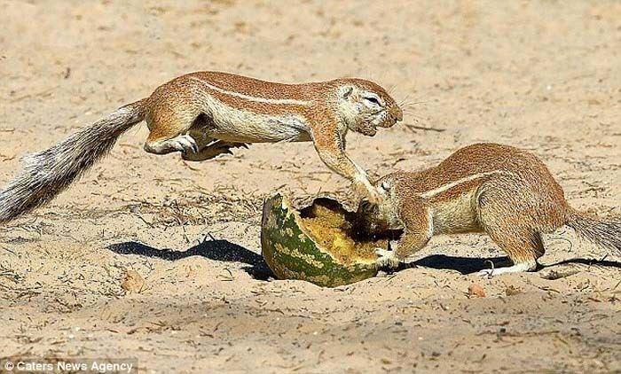 Sincapların amansız mücadelesi