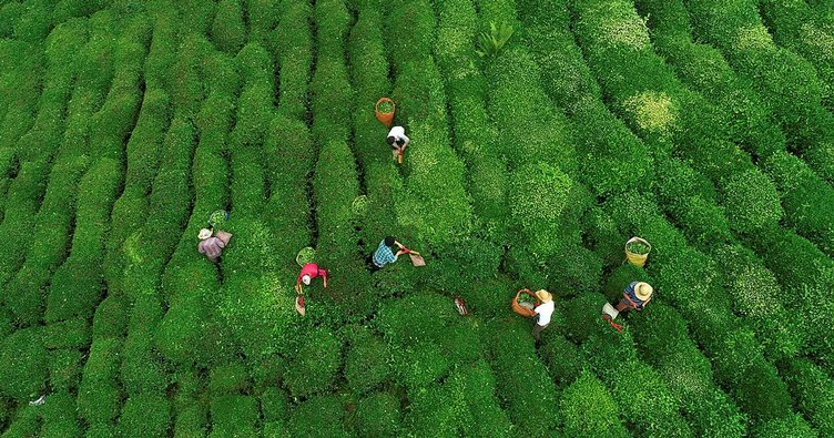 3.03 TL çay alım fiyatı üreticiyi sevindirdi