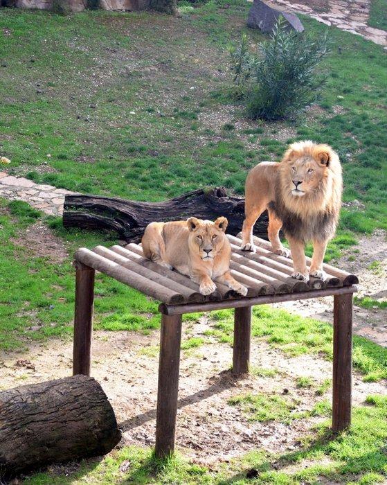 Cumhurbaşkanı Erdoğan'a hediye edilen aslanlar beş yaşında