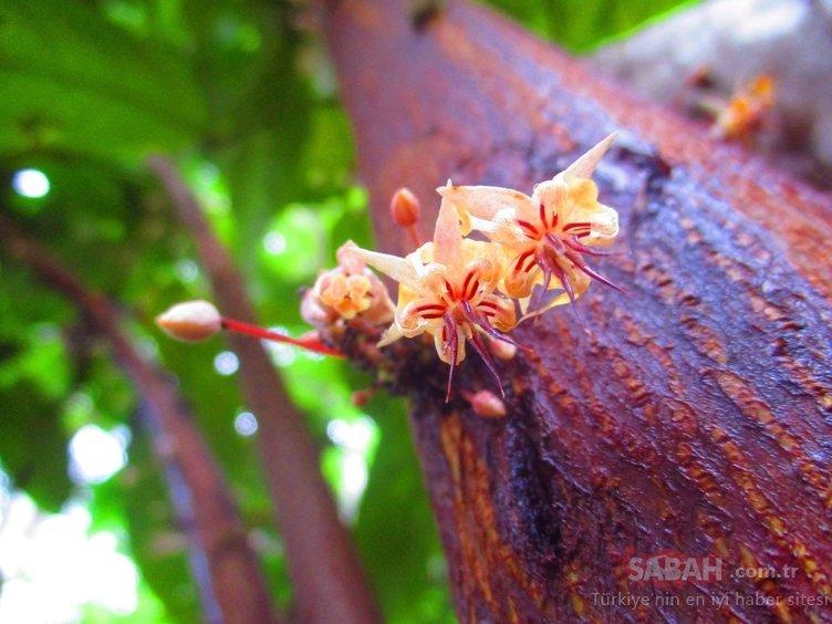 Herkesin sevdiği o besin meğer böyle üretiliyormuş! İşte kakaonun üretim aşamaları...