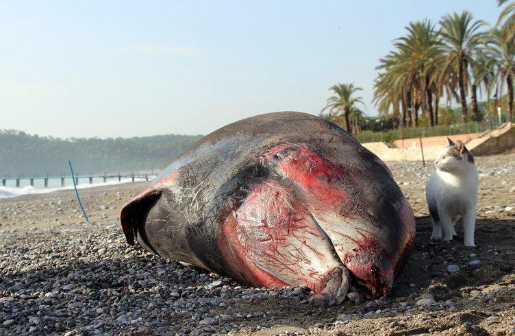 Kıyıya 5 metrelik ölü balina vurdu