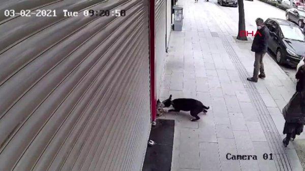 SON DAKİKA: Hatay'daki pitbull dehşeti kamerada! Herkesin gözü önünde parçaladı... | Video