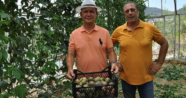 Gurbetçiler ilk passiflora hasadını yaptı! Market fiyatı şaşırtıyor