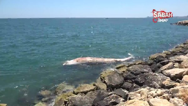 Dünyanın en büyük ikinci balinası, Mersin'de karaya vurdu | Video