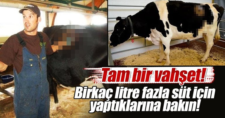Vahşet! Birkaç litre fazla süt için ineklere yaptıklarına bakın