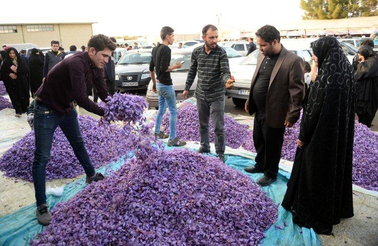 İran'da safran hasadı