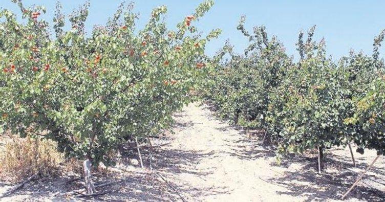 Zeytine alternatif kayısı üretiyor