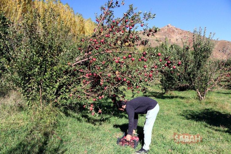 'Buralar çorak yetişmez' diyenleri dinlemedi! Van'da hayran bırakan meyve bahçesi
