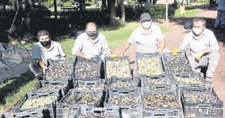 Dokuma'da zeytin hasadı
