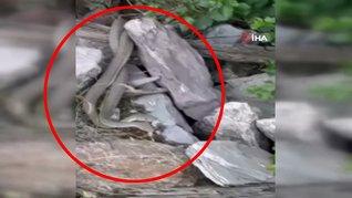 Tunceli'de yılaların şaşkına çeviren çılgın dansı kamerada   Video