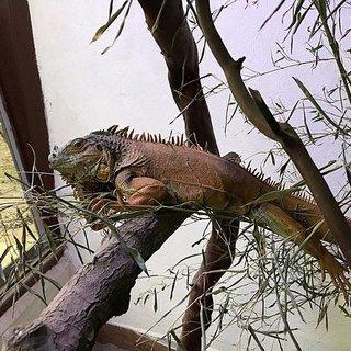 Sokağa bırakılan iguanaya Ormanya sahip çıktı