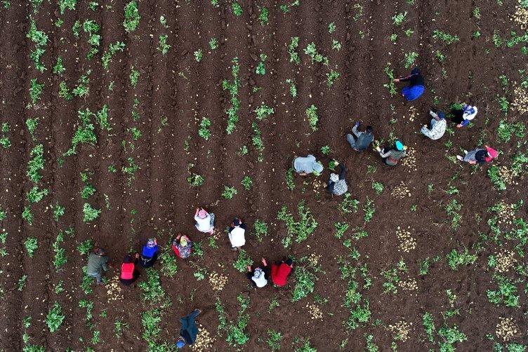 Çukurova'da turfanda patates hasadı başladı