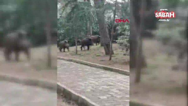 İstanbul Sarıyer'de aç kalan domuzlar mesire alanına indi | Video