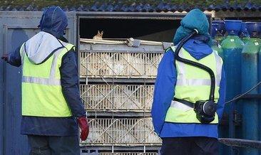 Polonya'da kuş gribi nedeniyle 100 binden fazla kümes hayvanı itlaf edildi