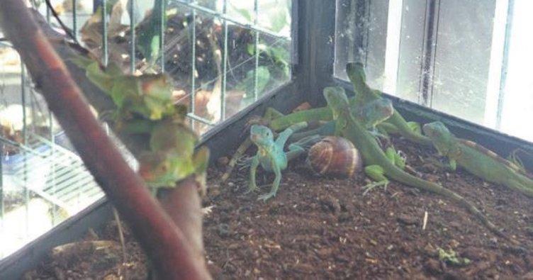 İguana 29 yavru doğurdu