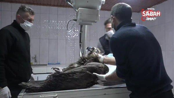 Türkiye'de sadece onlarcası kaldı. Yaralı 'Kara Akbaba' tedavi altına alındı | Video