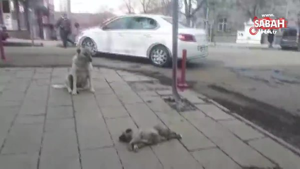 Kars'ta yürekleri dağlayan görüntü! Ölen yavrusunun başında bekleyen anne köpek kamerada | Video