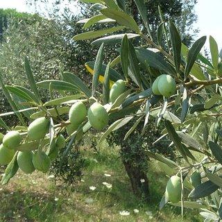 Edremit Körfezi'nde erken zeytin hasadı