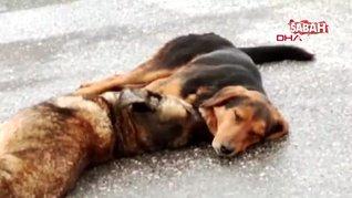 Ankara'da iki köpek, otomobilin çarpıp telef ettiği arkadaşlarının başından ayrılmadı | Video